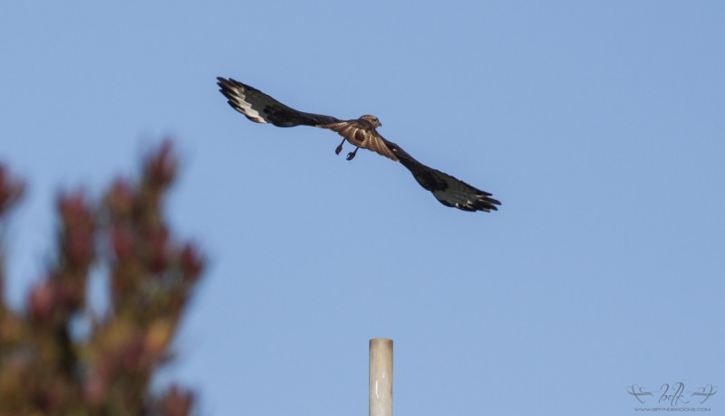 Steppe Buzzard taking off