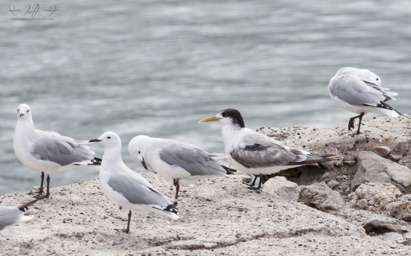 swift-tern-and-gulls