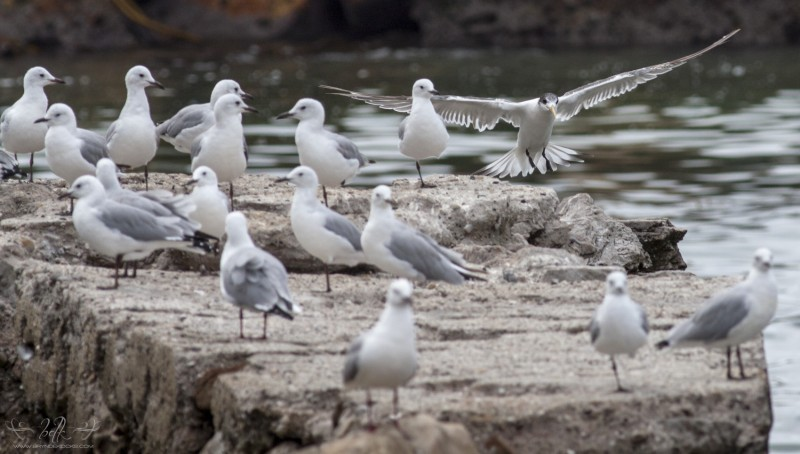 swift-tern-gulls