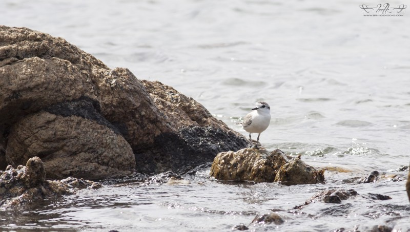 white-fronted-plover