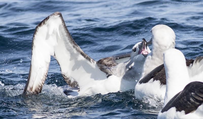 albaross feeding
