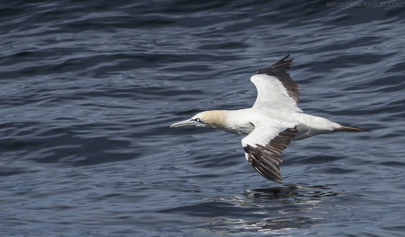 cape gannet flight