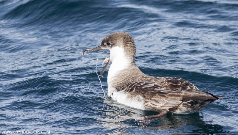 great shearwater with hook