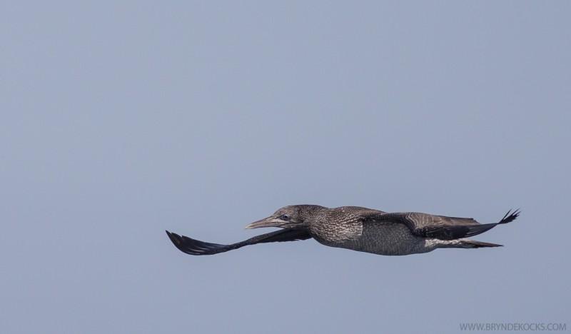 Juvenile Cape Gannet