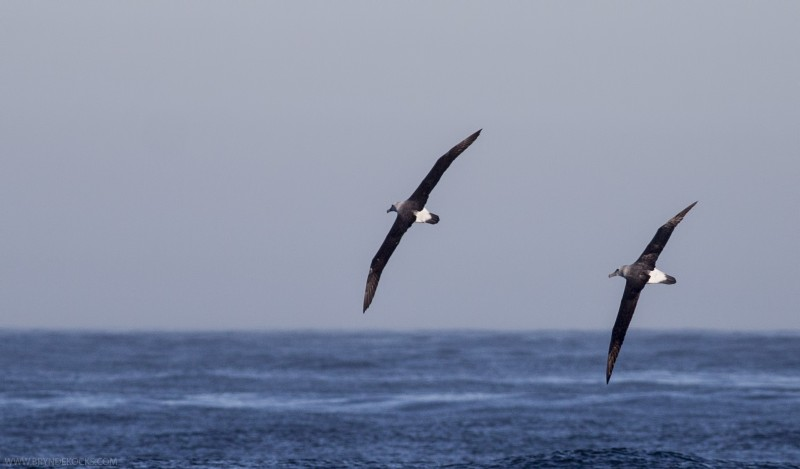Albatrosses in Flight