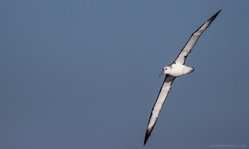 Immature Shy Albatross