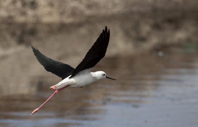 black winged stilt strandfontein