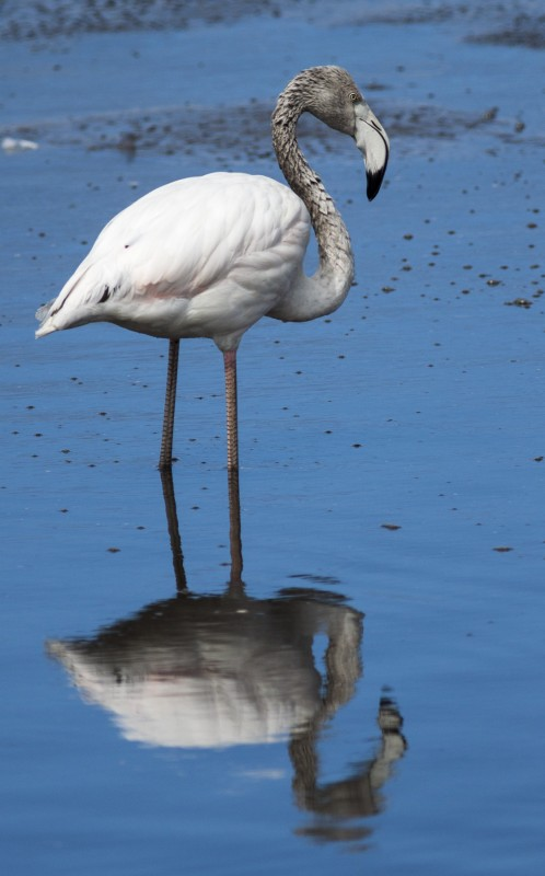 greater flamingo south africa