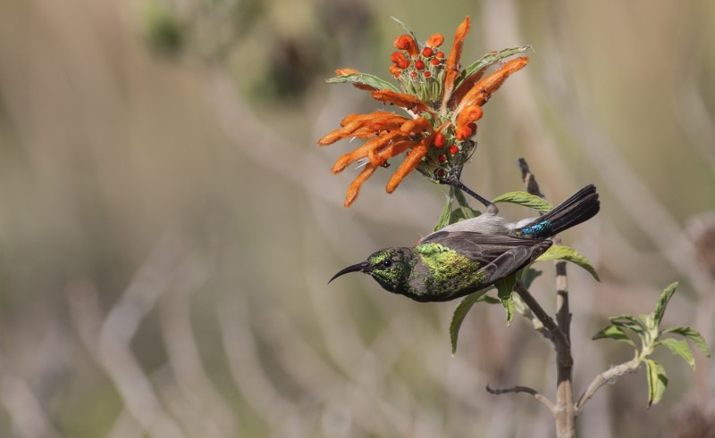 lesser double collared sunbird