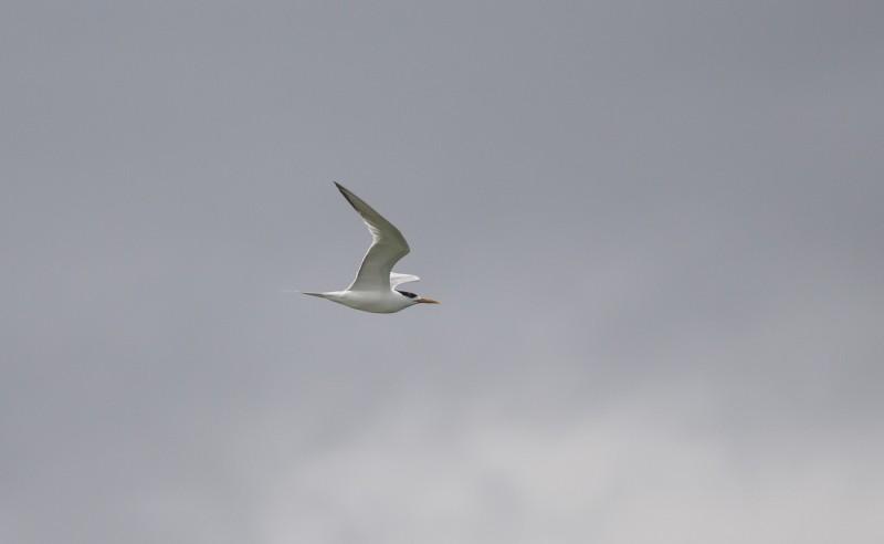 swift tern strandfontein