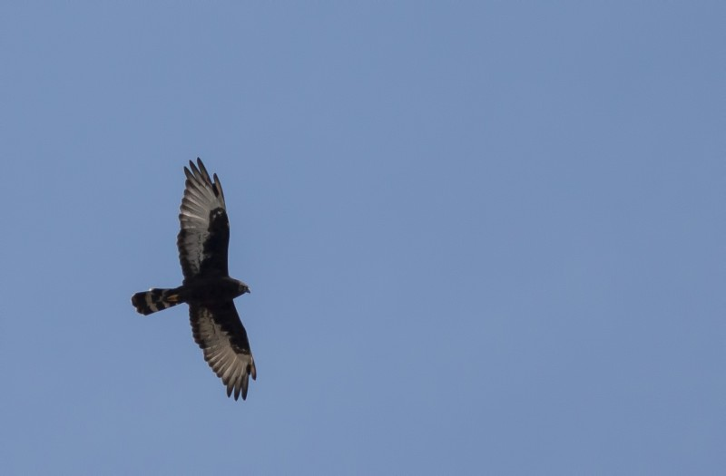 Black Harrier