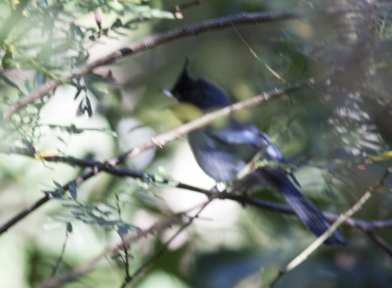 Blue Mantled Flycatcher