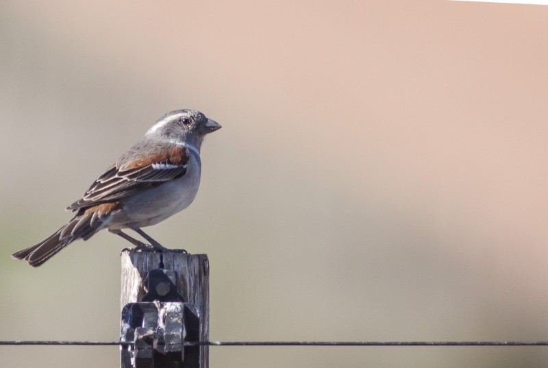 Female Cape Sparrow