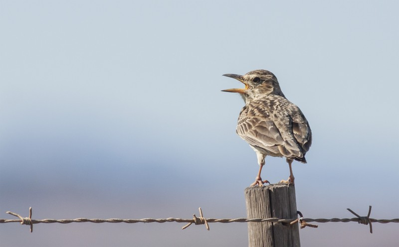Large Billed Lark