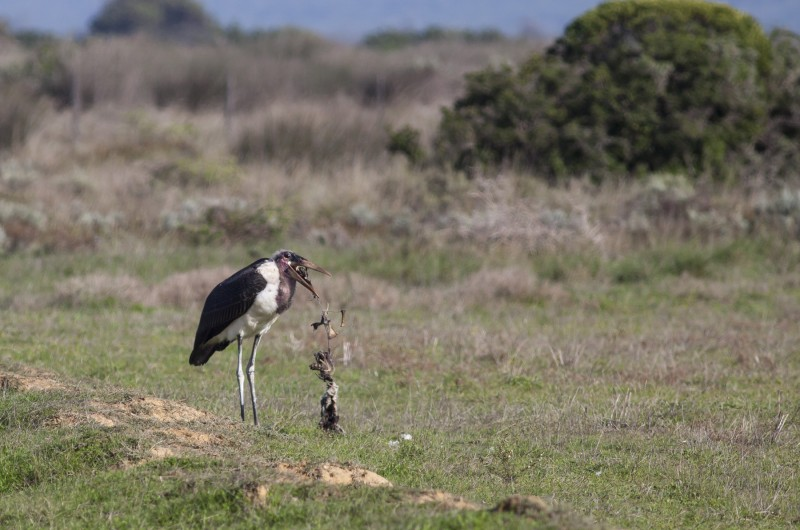 Marabou Stork Eating Carcass