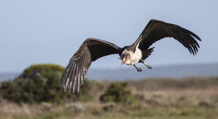 Marabou in Flight