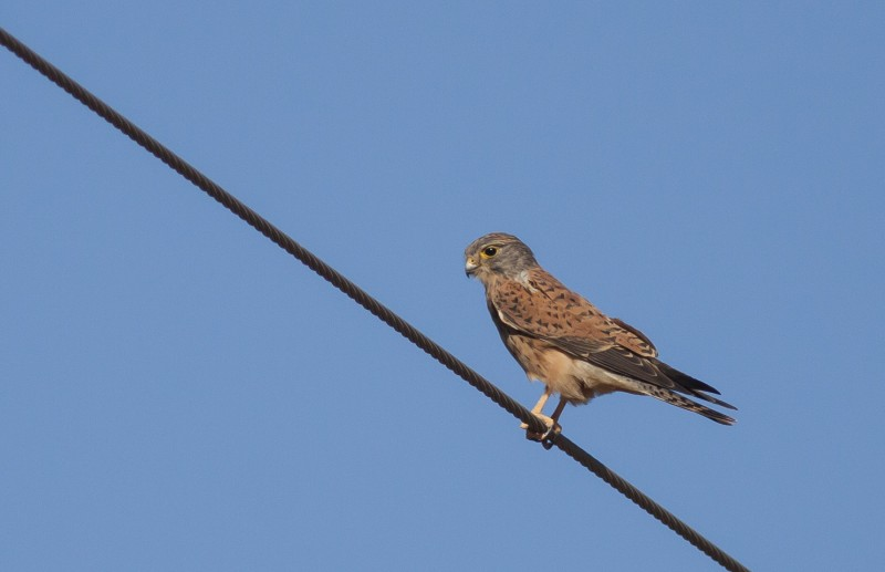 Young Rock Kestrel