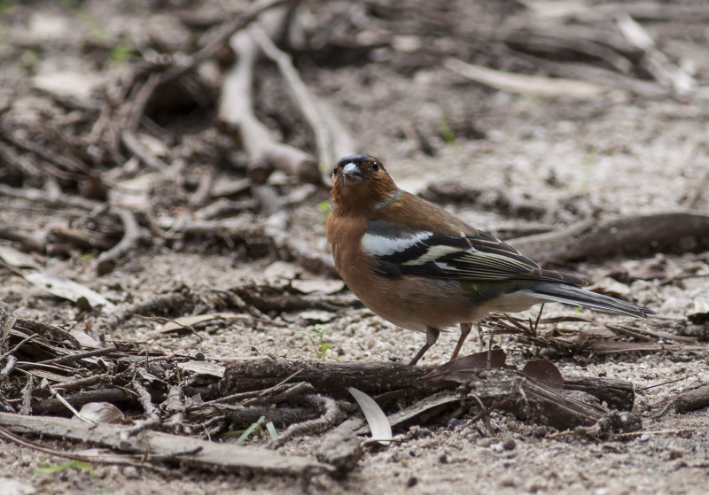Chaffinch at Tokai