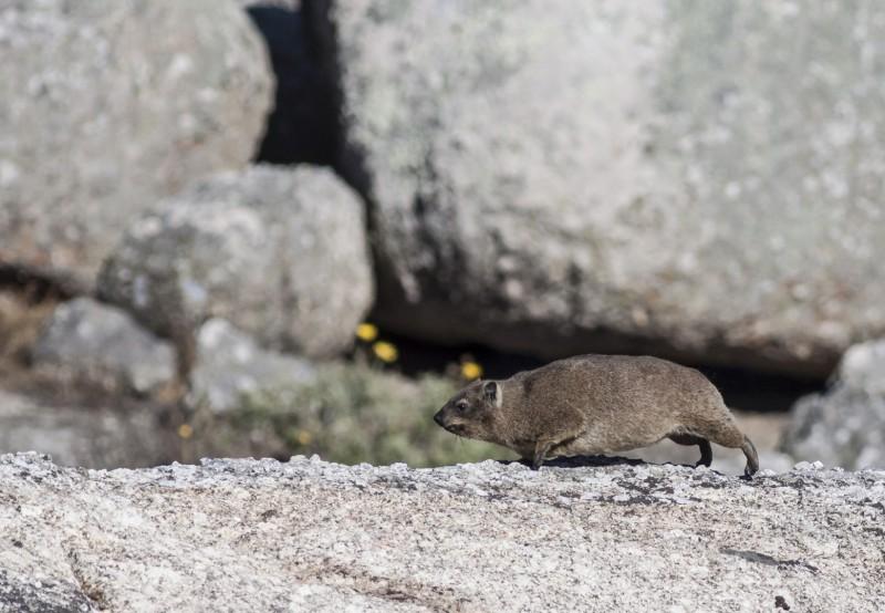cape-hyrax