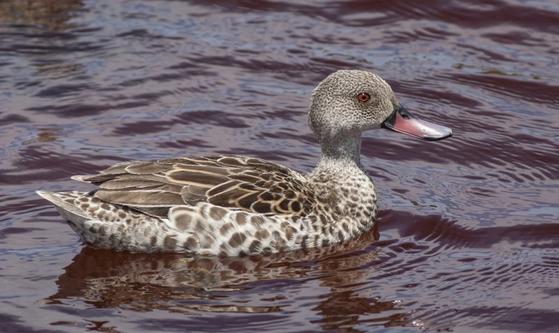 cape-teal