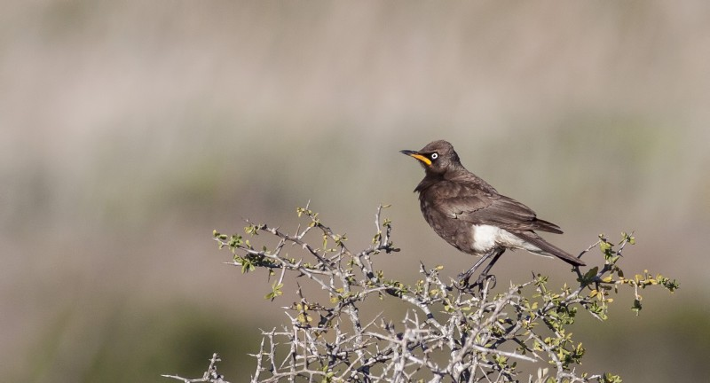 pied-starling