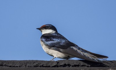 white-throated-swallow-wcnp