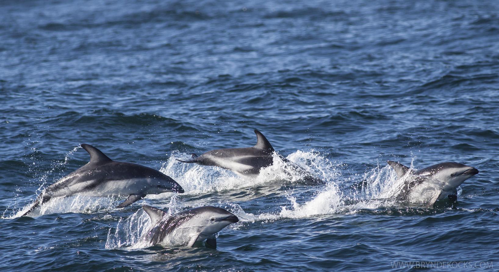 dusky-dolphins