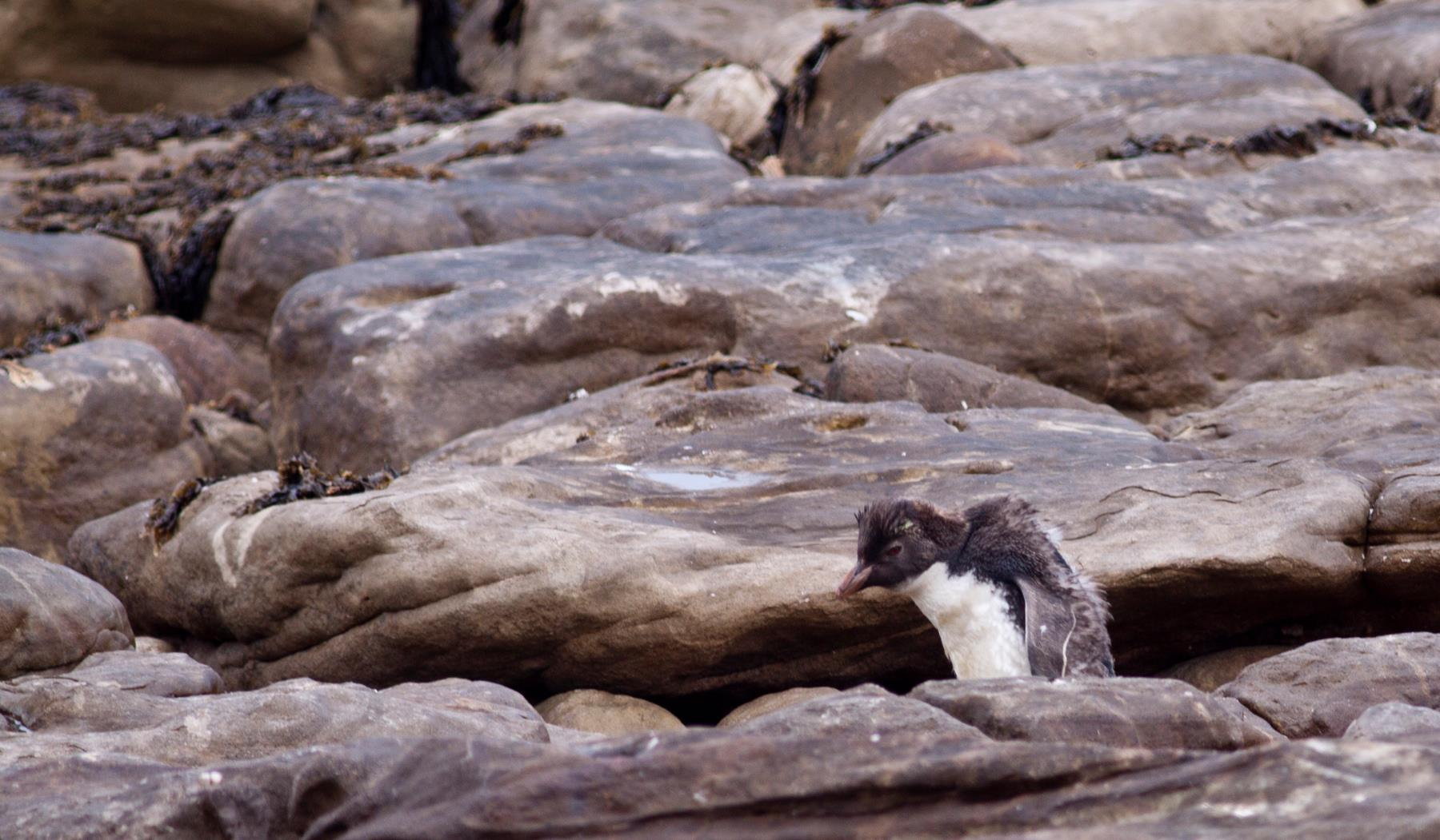 rockhopper-penguin