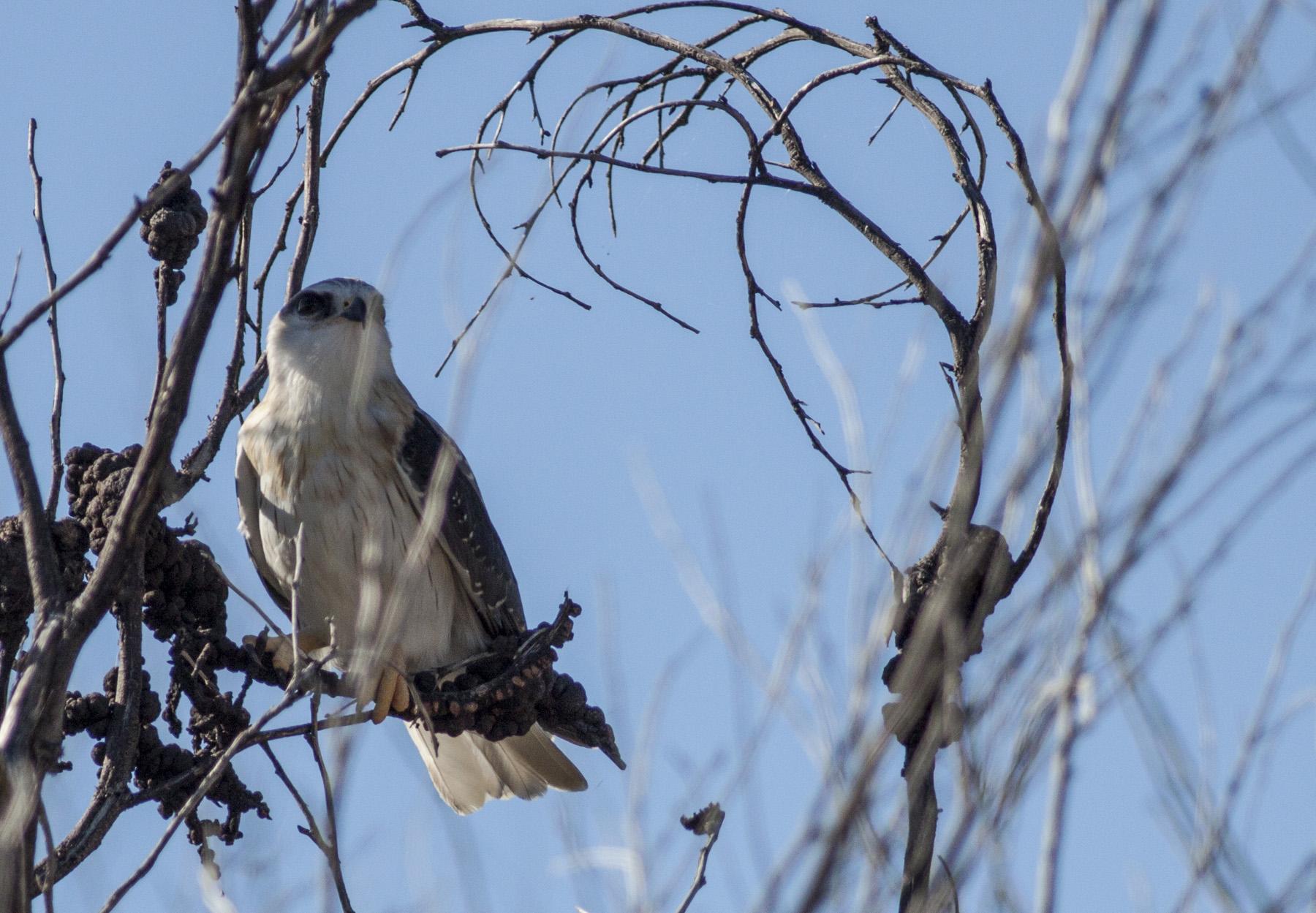 Juvenile Black Shouldered Kite