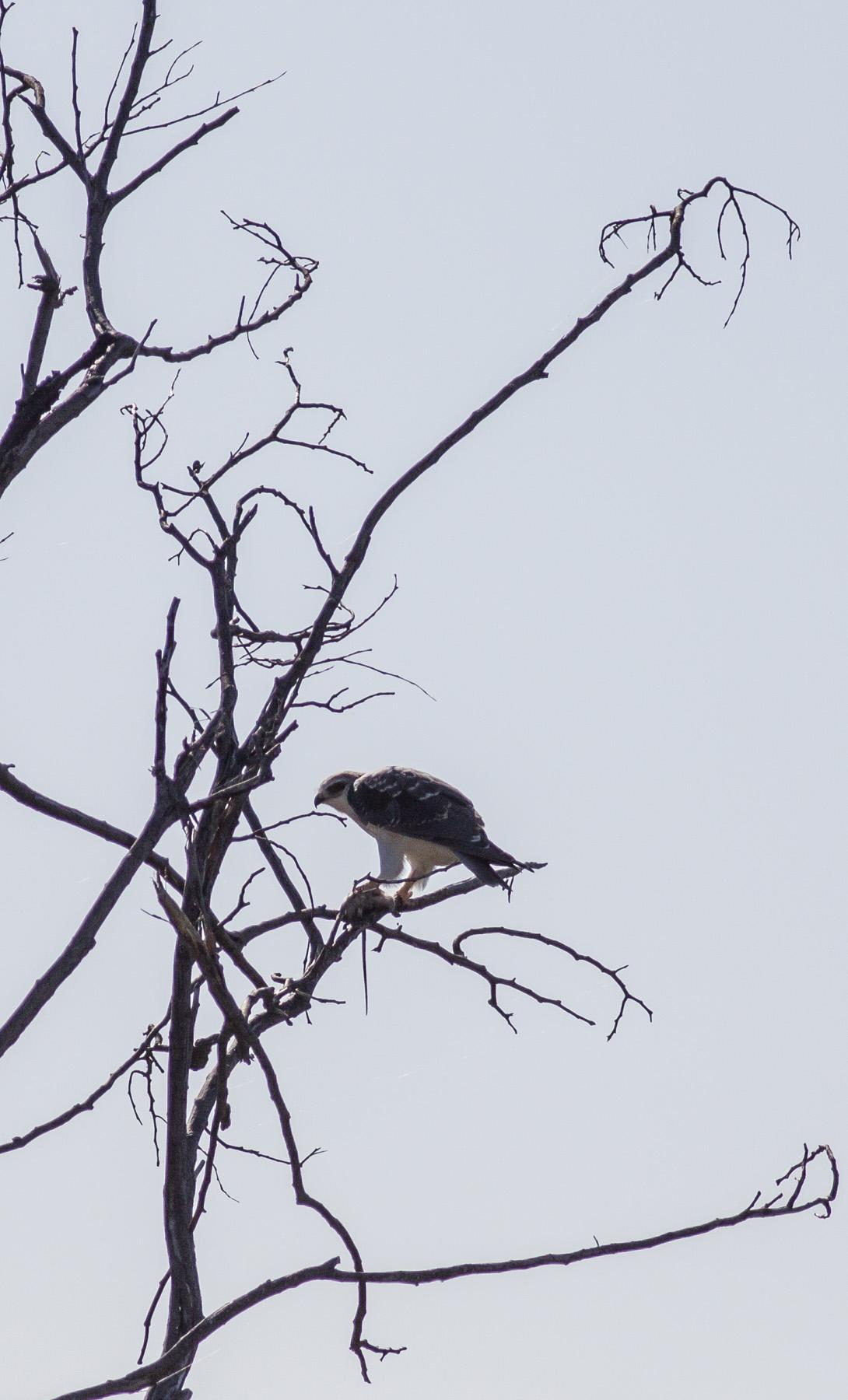 Feeding-Kite