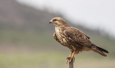 steppe-buzzard