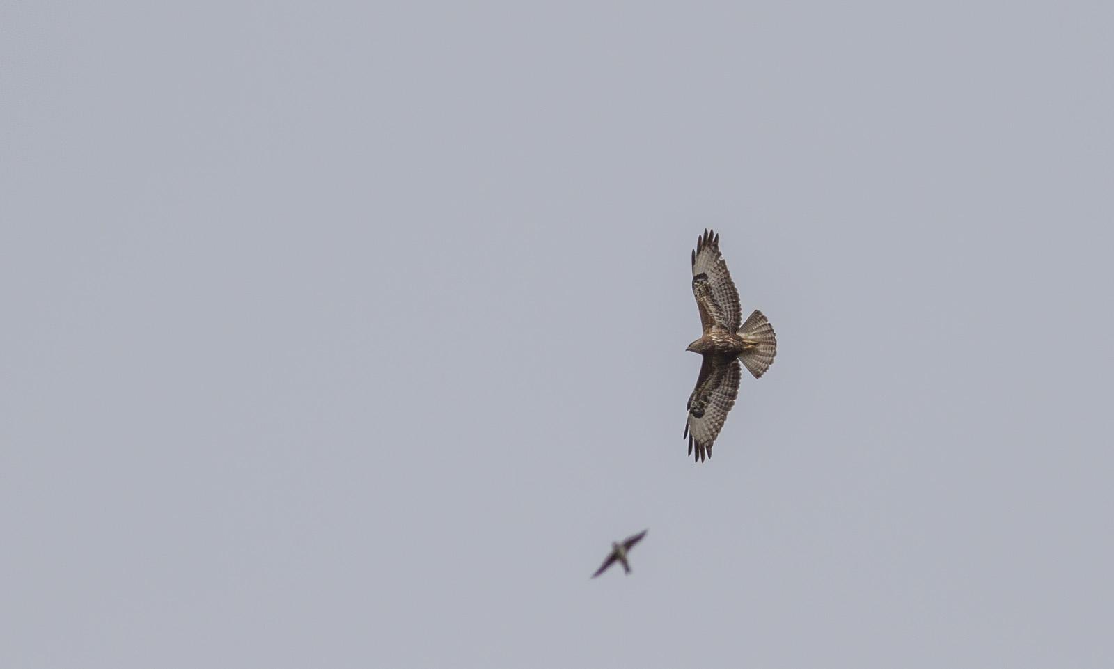 steppe-buzzard-flight