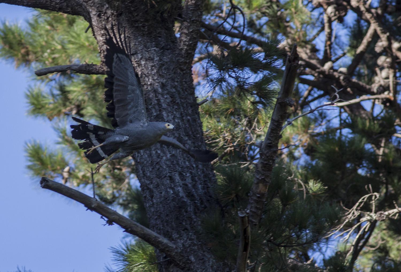african-harrier-hawk
