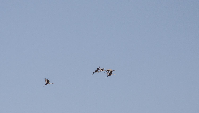 blue-cranes_flight
