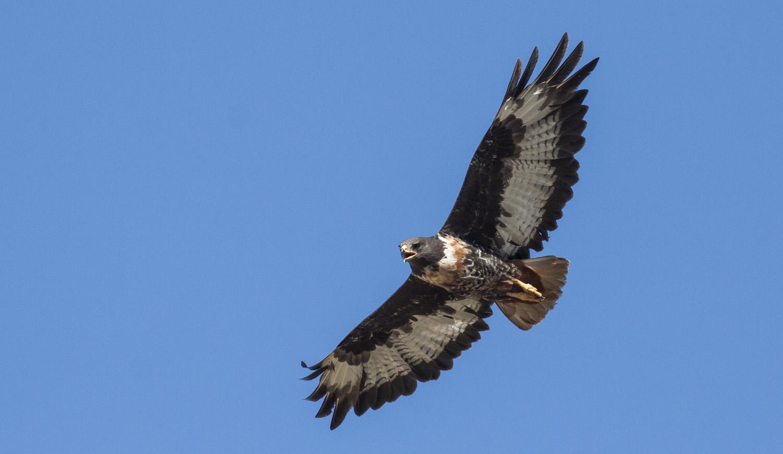 buzzard-jackal