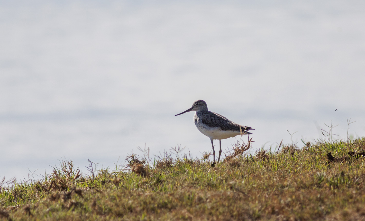 common-greenshank