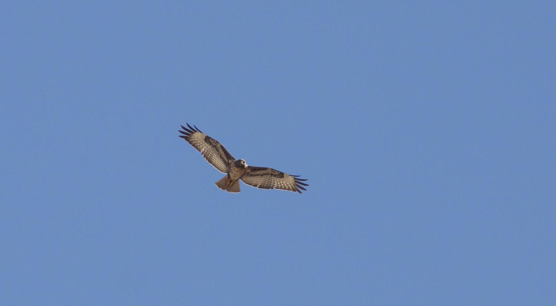juvenile-jackal-buzzard