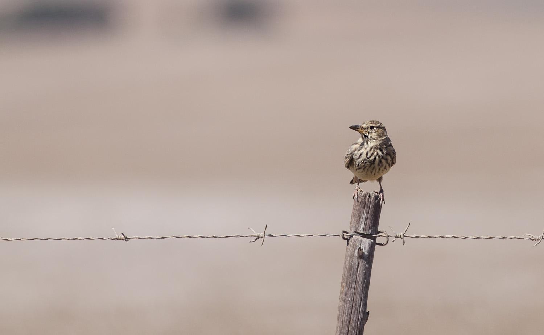 large-billed-lark