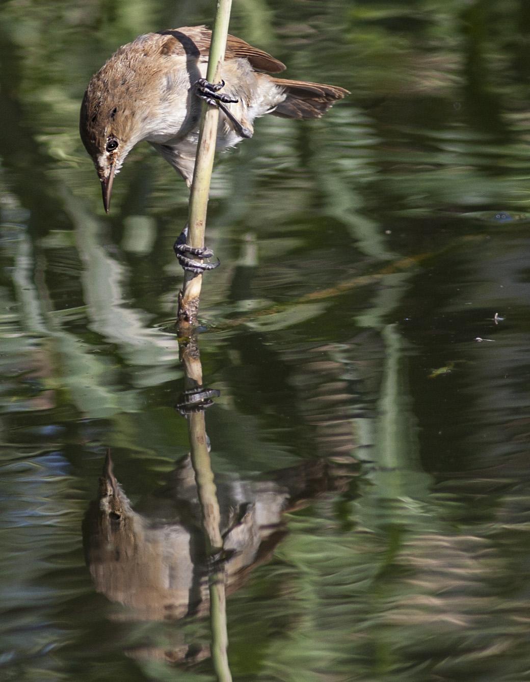 lesser-swamp_warbler