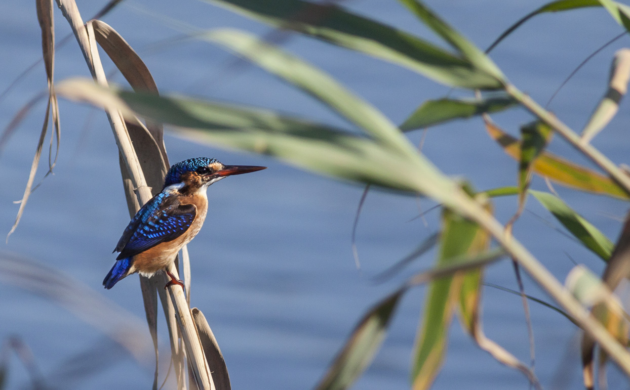 malachite-kingerfisher