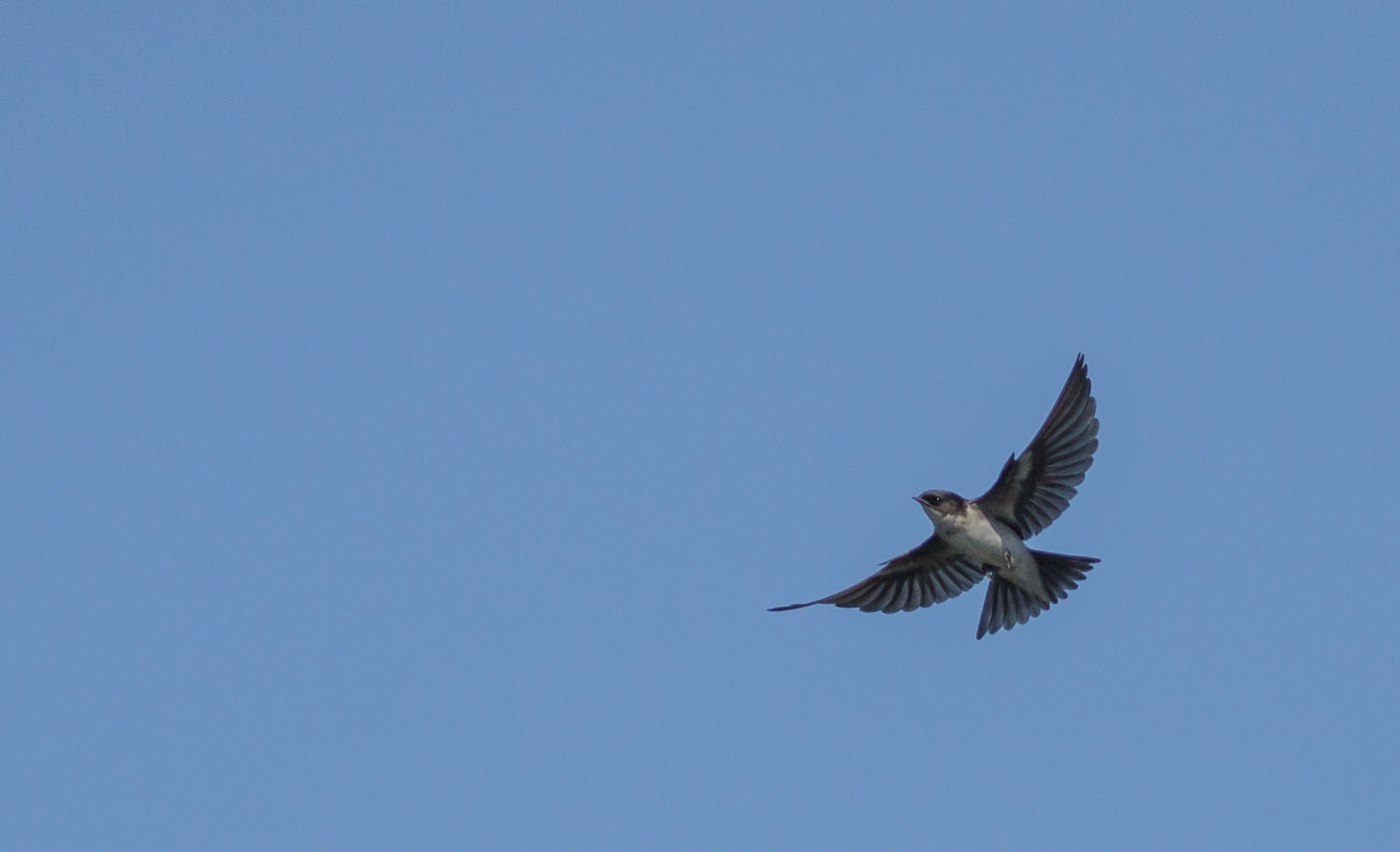 pearl-breasted-swallow