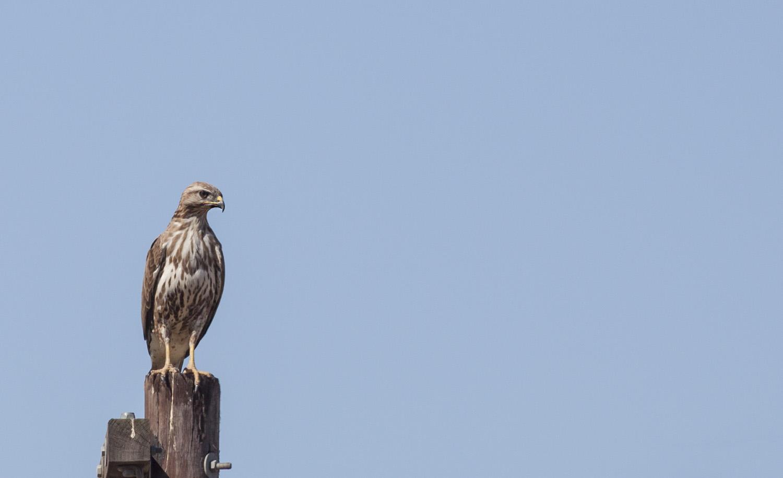 steppe-buzzard-perched