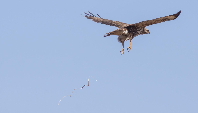 steppe-buzzard-poop