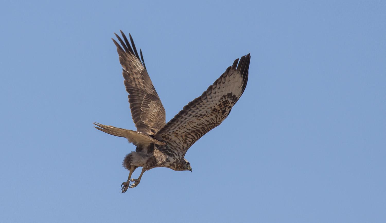 steppe-buzzard-young