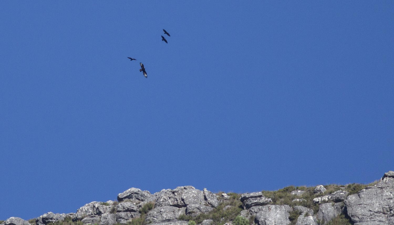 verreaux-eagle