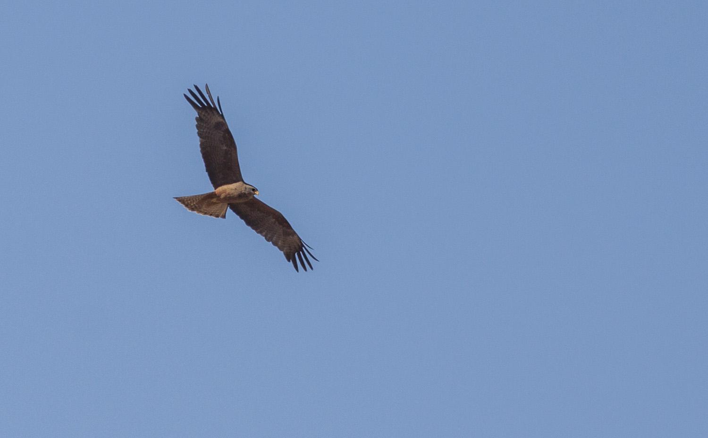yellow-billed-kite