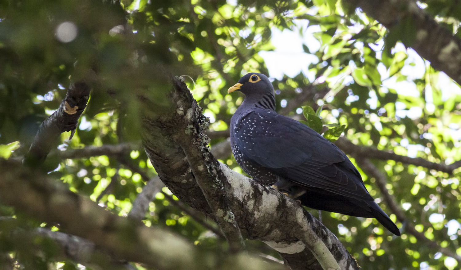 african-olive-pigeon