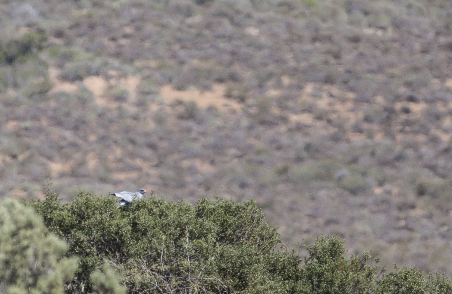 Pale Chanting Goshawk record shot