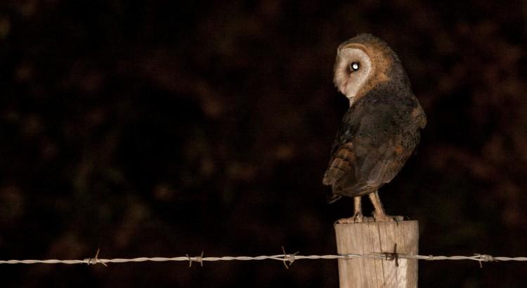 Barn Owl Lifer