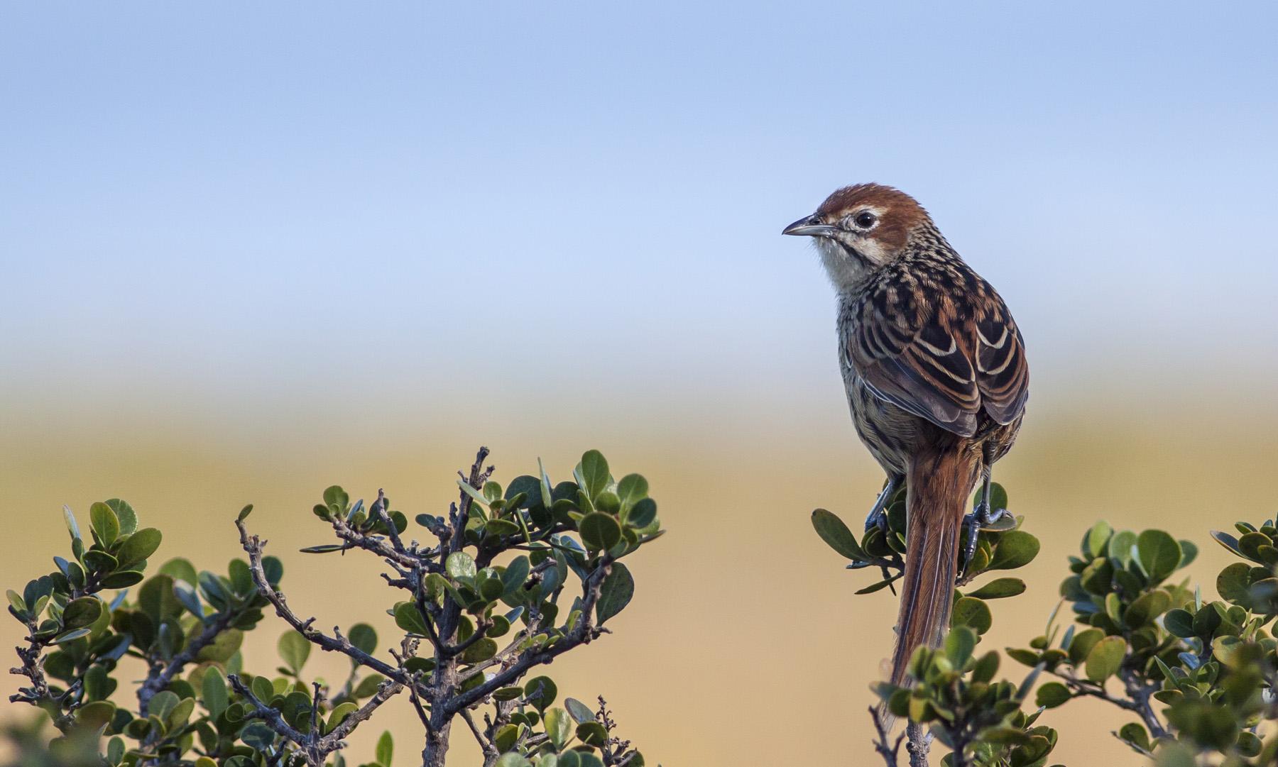 cape-grassbird